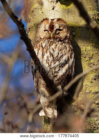 Sleepy Tawny owl on a branch close to the tree
