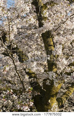 Flowers of japanese cherry tree full bloom in spring time