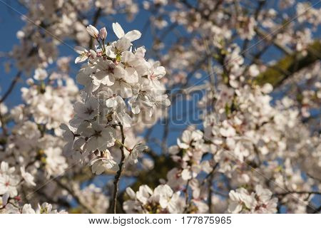 Flowers of japanese cherry tree, full bloom in spring time