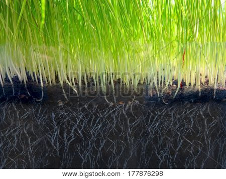 Vibrant green grass grow from ground macro view