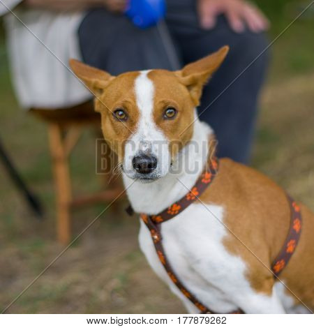 Outdoor portrait of gorgeous basenji dog waiting for the master taking a short rest on a stool