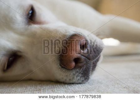 nose of tired labrador retriever dog during sleeping