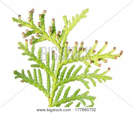 Closeup of green branch of arborvitae (Thuja occidentalis) with male cone isolated on white background. Underside