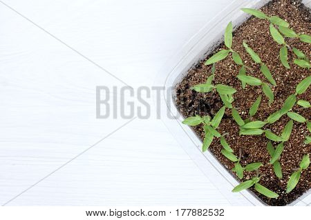 Young sprouts green pepper in a box with bio soil / seedlings for spring planting in the garden