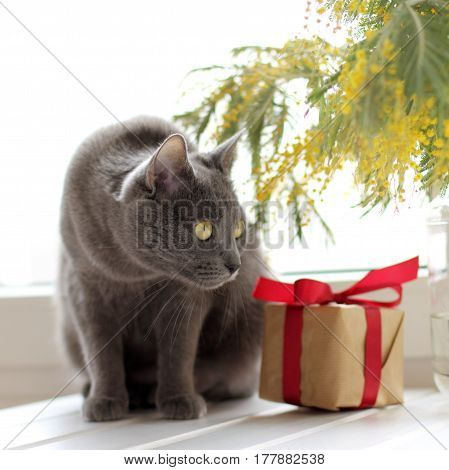 Cat on the background of a gift and a bouquet of blooming mimosa / spring festive greeting