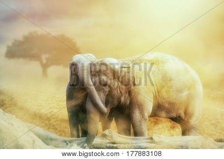Elephant Love In The Sandstorm On The Desert