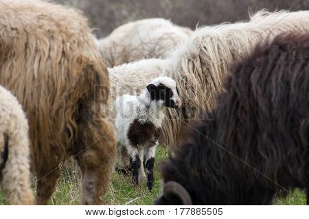 Sheep and lambs on pasture. Sheeps in nature
