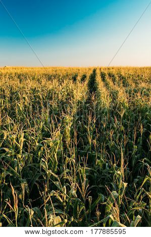 Green Maize Corn Field Plantation In Summer Agricultural Season. Skyline Horizon, Clear Blue Sky Background.