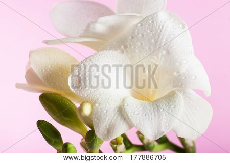 White freesia on the pink background. Concept of spring Women's Day Mothers day 8 March the holiday greetings tenderness femininity. Place for your text