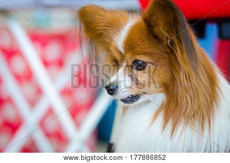portrait of a beautiful pet papillon Cute dog
