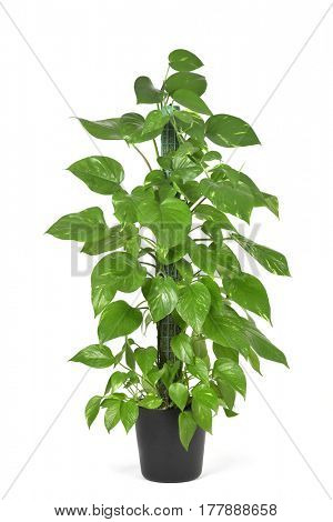 an Epipremnum aureum plant, also known as golden pothos, on a white background