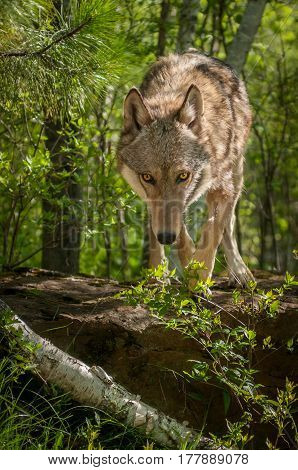 Grey Wolf (Canis lupus) Steps Off Rock - captive animal