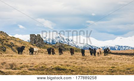 Wild horses grazing in Iceland. Herd of horses in the countryside with snowy mountains on background. Travel and wildlife concepts.