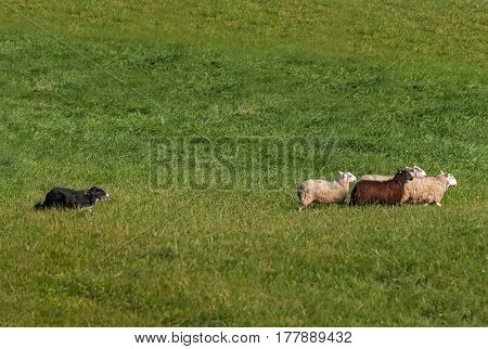 Herding Dog Moves Group of Sheep (Ovis aries) Right - at sheep dog herding trials