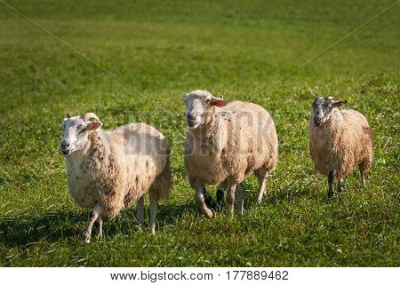 Sheep (Ovis aries) Run Left - at sheep dog herding trials