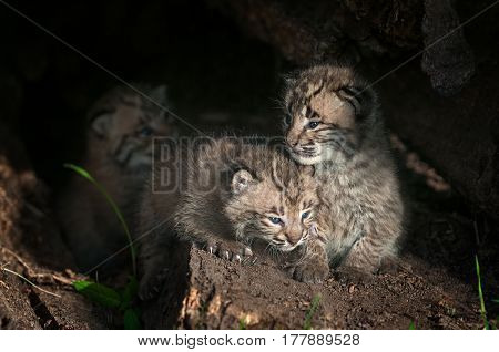 Bobcat Kittens (Lynx rufus) Sit Inside Log - captive animals