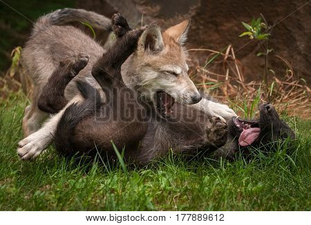 Grey Wolf (Canis lupus) Pups Wrestle - captive animals