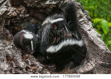 Striped Skunk (Mephitis mephitis) Family Close in Log - captive animals
