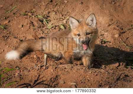 Red Fox Kit (Vulpes vulpes) Sits in Dirt - captive animal