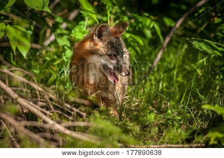 Grey Fox Vixen (Urocyon cinereoargenteus) Stands in Brush - captive animal