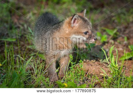 Grey Fox Kit (Urocyon cinereoargenteus) Stands Alone - captive animal