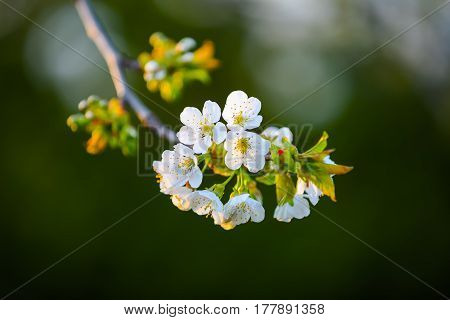Charming dreamy single branch cherry with white blossoms on a gray background.