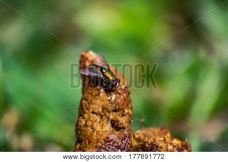 Bottle Fly sitting on Jackal Feces late afternoon