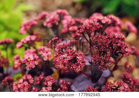 Hylotelephium spectabile (Sedum)