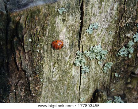 Ladybug crawling on rotten mossy stump in the north woods