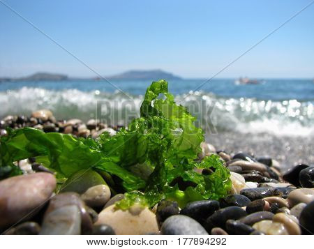 green algae are on the black sea shore on stones on sea background