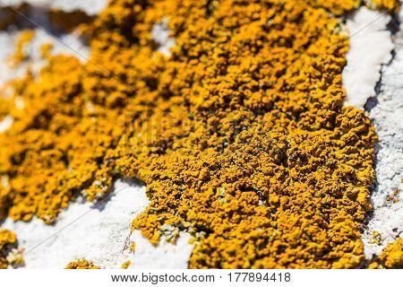 Beautiful orange lichen fungus mold on white stone by sea shore as closeup background and parasite symbiosis vegetation biology life image