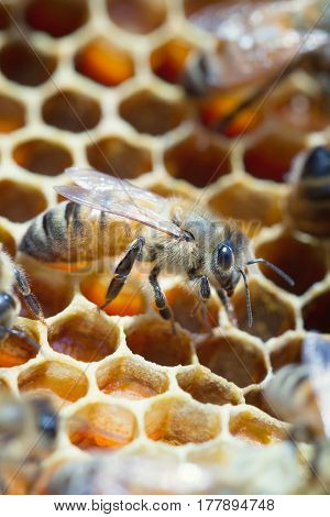 Close up of worker honey bee on open comb cells in a beehive.