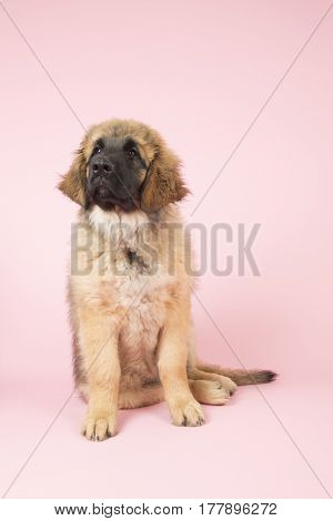 Cute Leonberger puppy on pink background