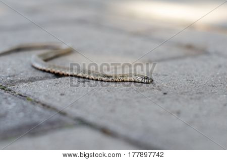 Grass snake crawling on a brick tile. Non-poisonous snake. Frightened by the Grass snake.