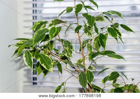 Ficus Benjamina. House plant.  Floral background. Leaves close-up.