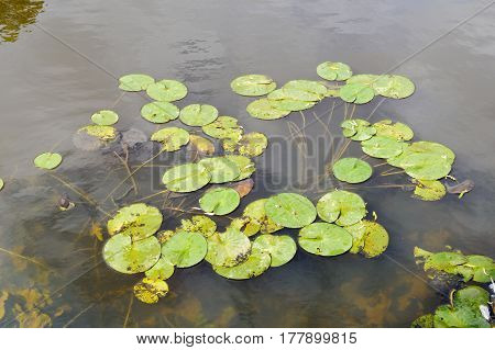 water lillies in a lake shot from above