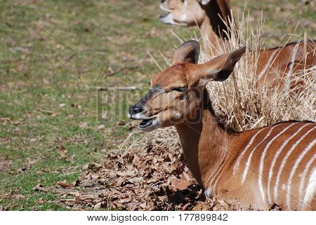 Chewing nyala antelope in a bed of leaves chewing.