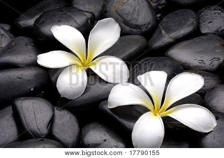 Still life with frangipani and black pebbles