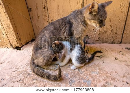 stray mother cat nursing her kitten with love on the road.