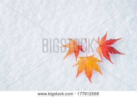 Colourful maple leave falling on fresh white snow ice at public park in TokyoJapan
