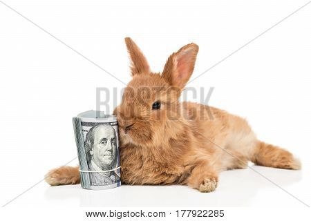 Red Rabbit is next to a bundle of hundred dollar banknotes isolated on white background