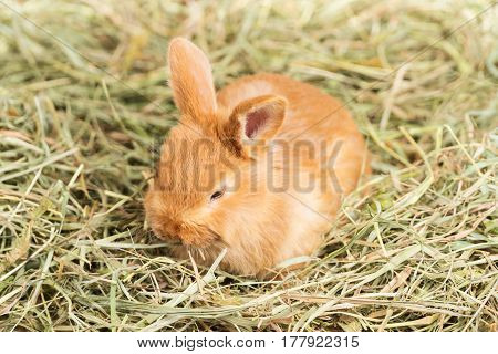 Small beautiful redheaded rabbit sits in the hay and eats it, close-up