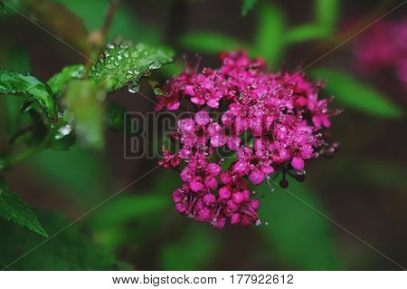 Blooming Spiraea Japonica (Japanese spirea) closeup in summer garden