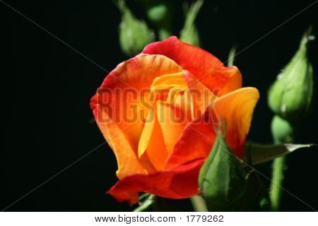 Red/Orange Rose