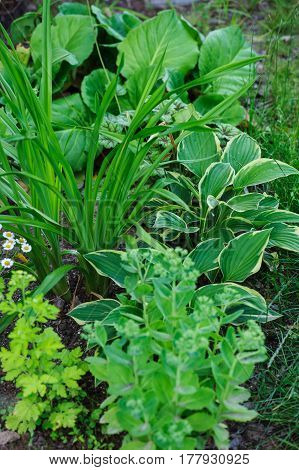 Hylotelephium spectabile (Sedum) planted with hosta daylily and other perennials in summer garden