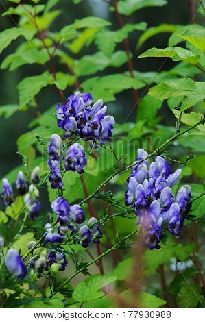 Monkshood (Aconitum autumnale) blue and white flowers closeup in summer garden.