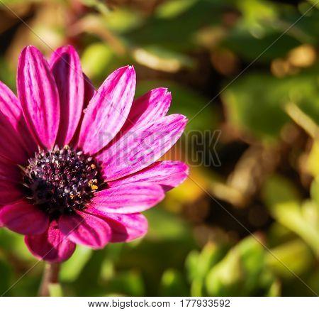 pink gerbera flower in the sun light