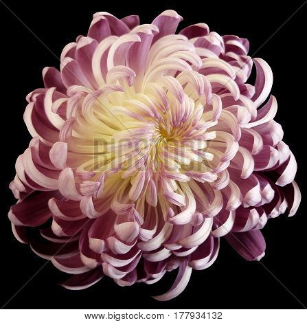 pink-white flower chrysanthemum. Motley garden flower. black isolated background with clipping path no shadows. Closeup. Nature.