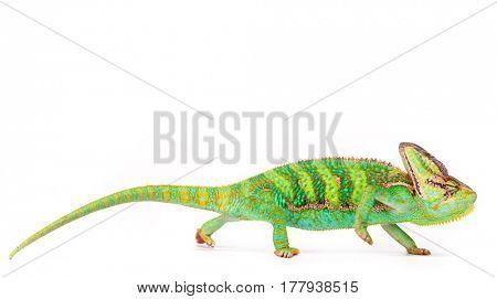 Veiled chameleon (chamaeleo calyptratus) close-up photo.