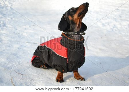 Horizontal portrait of a dog breed dachshund dog is black, full-length sitting in the snow on a sunny day in a red jacket with a collar with his head held up
